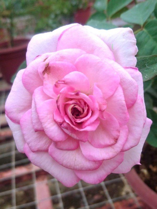 Rosa 'Beverly' » Rose Plants