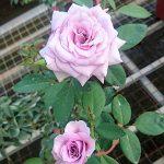 'Blue Moon' Rose