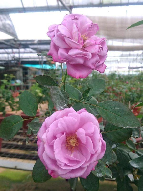 Rosa 'Blue River' » Rose Plants