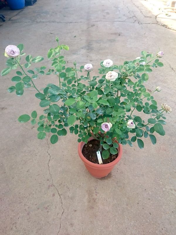 'Blue Story' Rose Plant with 12 flowers » Rose Plants