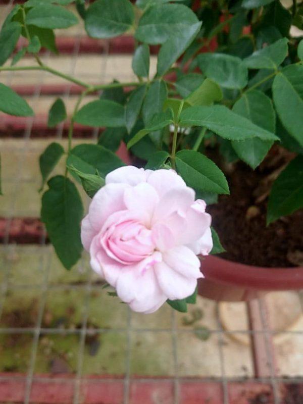 Rosa 'Blush Noisette' » Rose Plants