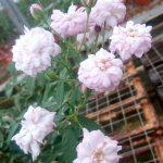 'Blush Noisette' Rose