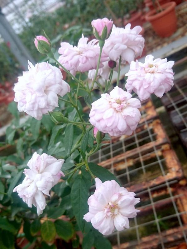 'Blush Noisette' Rose » Rose Plants