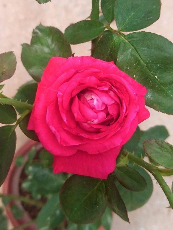 Rosa 'Chrysler Imperial' » Rose Plants
