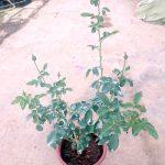 'Chrysler Imperial' Rose Plant » Rose Plants