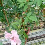 'Clair Matin' Rose