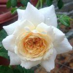 'Crocus Rose'