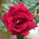 'Dark Night' Rose