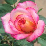 'Dream Come True' Rose