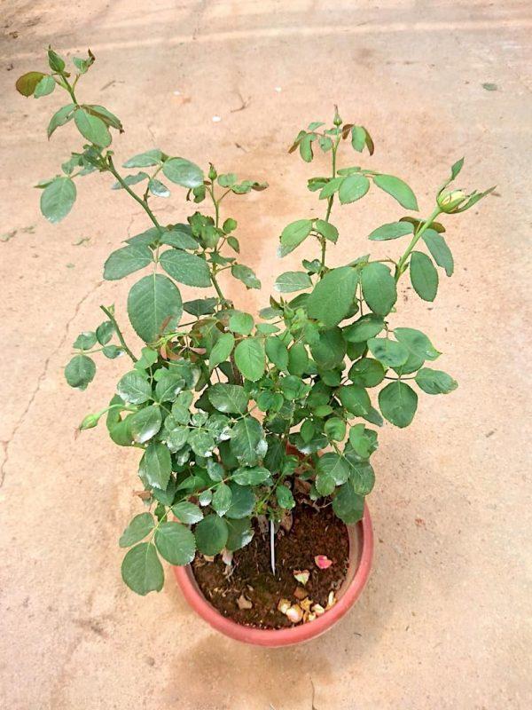 'Dream Come True' Rose Plant » Rose Plants