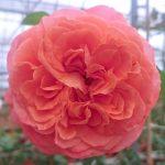 'Emilien Guillot' Rose