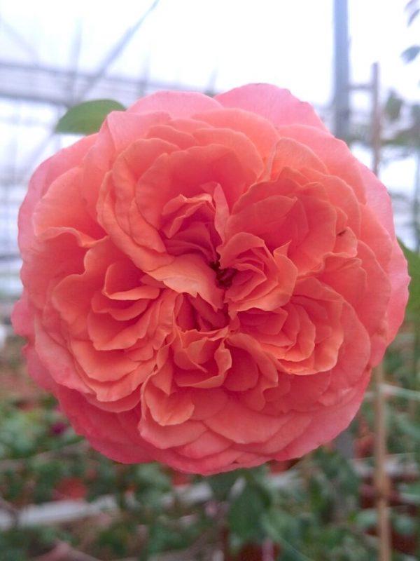 'Emilien Guillot' Rose » Rose Plants