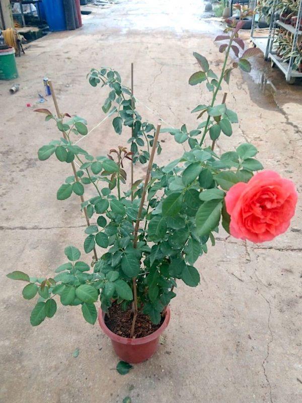 'Emilien Guillot' Rose Plant » Rose Plants