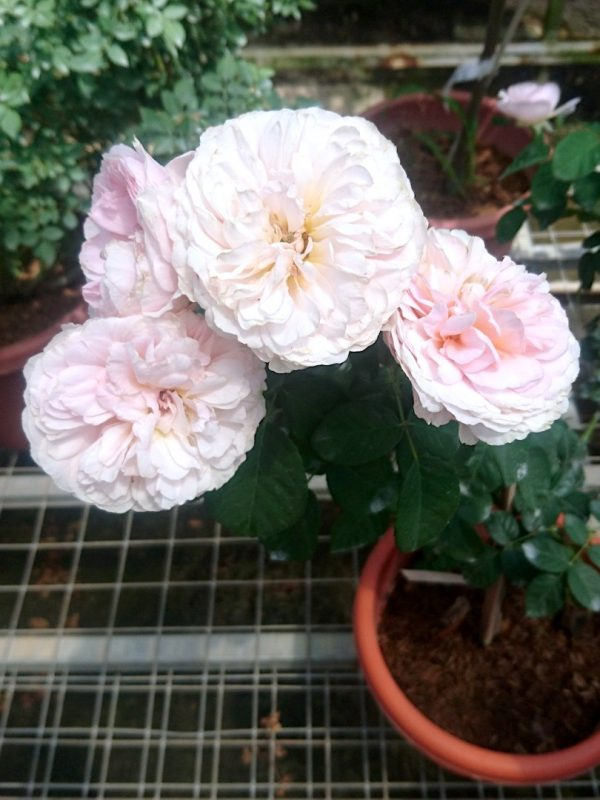 'Eustacia Vye' Roses » Rose Plants