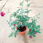 'Eve Wine Cellar' Rose Plant with 5 flowers and 6 buds » Rose Plants