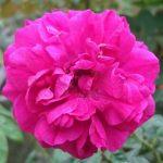 Rosa 'Fisherman's Friend' » Rose Plants