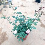 'Gartenträume' Rose