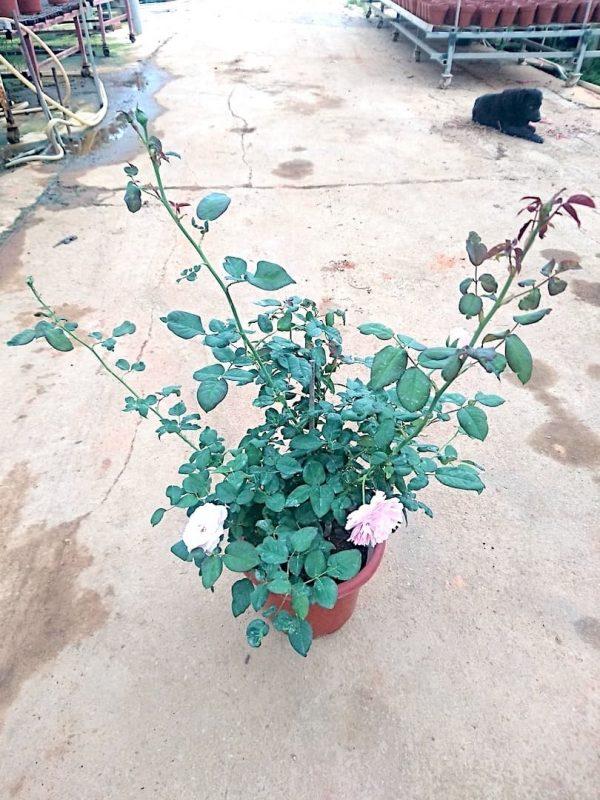 'Gartenträume' Rose Plant » Rose Plants