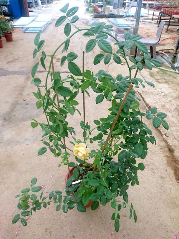 'Graham Thomas' Rose Plant » Rose Plants