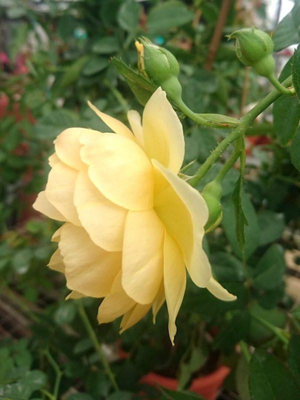 Rosa 'Graham Thomas' Sideview » Rose Plants