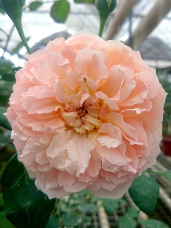 Rosa 'Heaven on Earth' » Rose Plants