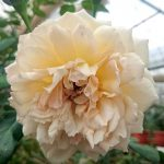 'Heaven on Earth' Rose