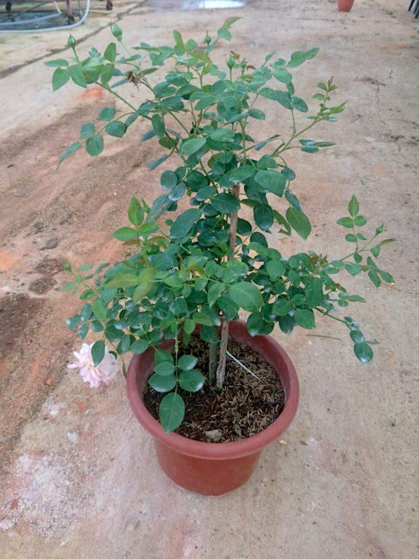 'Heaven on Earth' Rose Plant » Rose Plants
