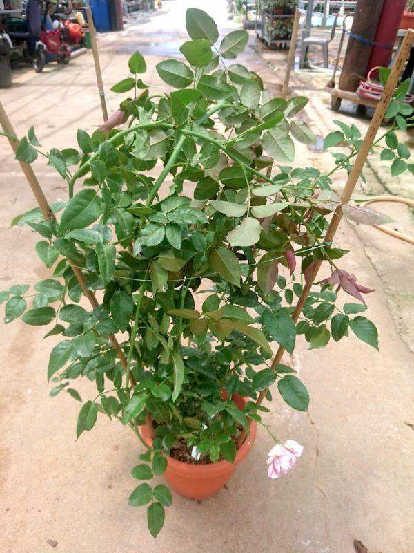 'Julie Andrieu' Rose Plant » Rose Plants