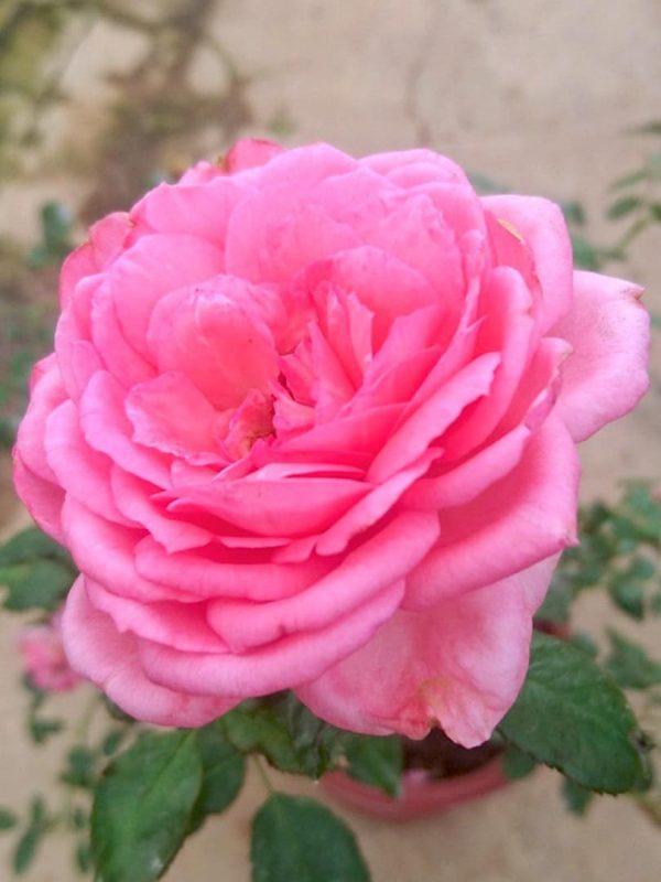 Rosa 'La Rose de Molinard' » Rose Plants