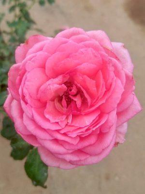 'La Rose de Molinard' Rose
