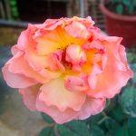 'Lady Emma Hamilton' Rose