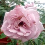 'Le Petit Prince' Rose