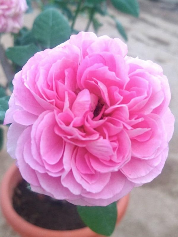 Rosa 'Memories' » Rose Plants