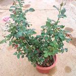 Japanese Rose Plant 'Miyabi' » Rose Plants