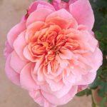 'Miyabi' Rose