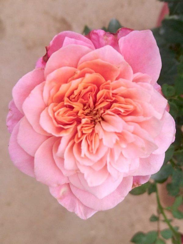 Japanese Rose 'Miyabi' » Rose Plants