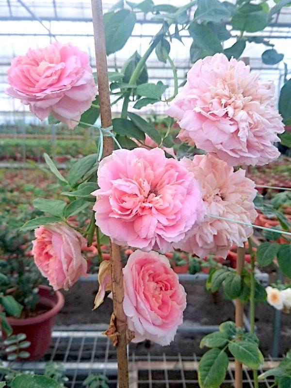 Japanese Roses 'Moulin de la Galette' » Rose Plant