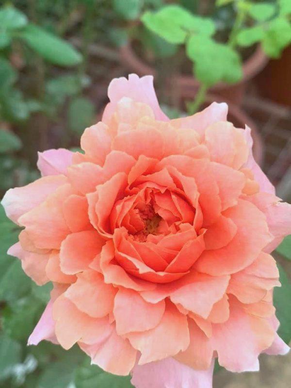 Japanese Rose 'Moulin de la Galette' » Rose Plant