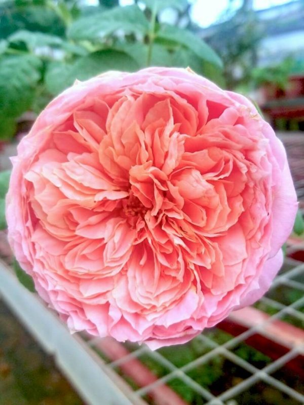 Japanese Rose 'Moulin de la Galette' » Flowering Plant