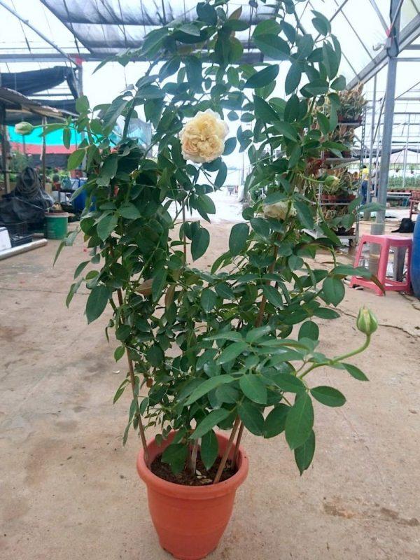 'My Girl' Rose Plant » Rose Plants
