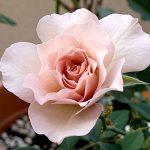 'New Wave' Rose