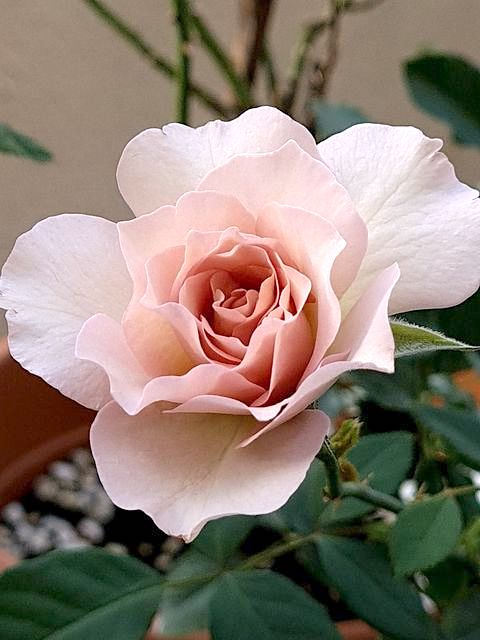 Japanese Rose 'New Wave' » Rose Plants