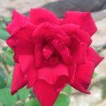 'Oklahoma' Rose