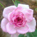 'Perfume Perfection' Rose