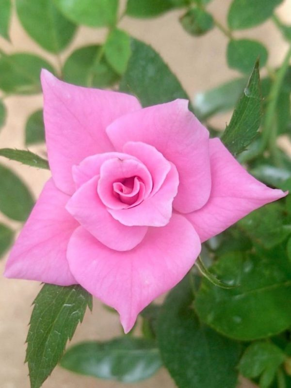'Pink Simplicity' Rose » Rose Plants