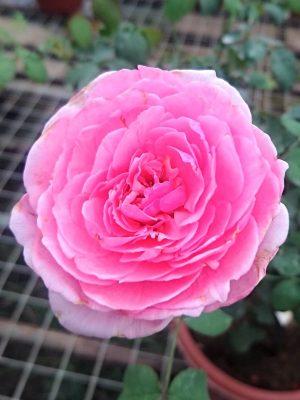 'Pretty Jessica' Rose