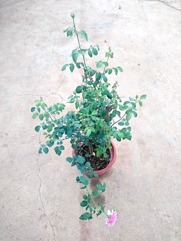 'Pretty Jessica' Rose Plant with 14 buds and 1 flower » Rose Plants