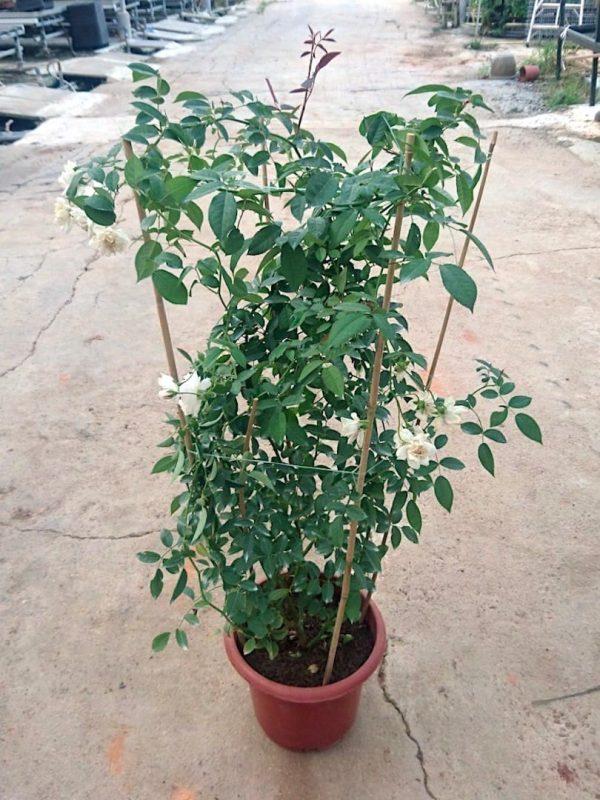 'Prosperity' Rose Plant » Rose Plants