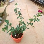 'Purple Lodge' Rose Plant » Rose Plants