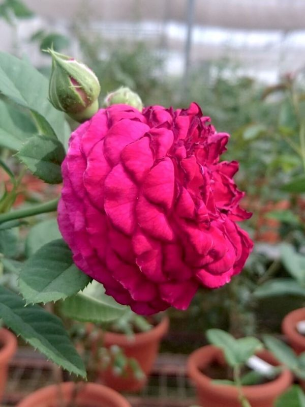 Rosa 'Purple Lodge' Sideview » Rose Plants